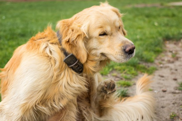 Golden_Retriever_Kratzen