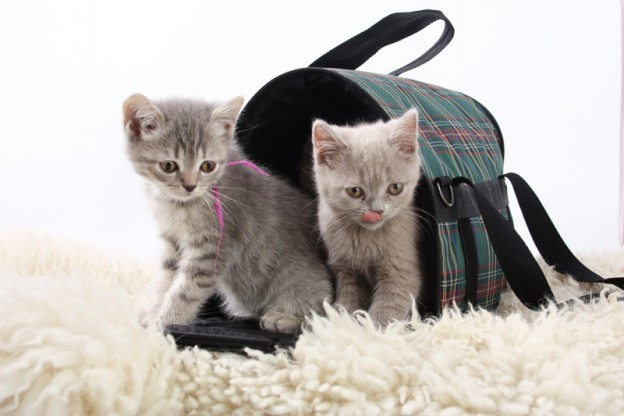 Süsse Katzenbabies © [alex makarenko] – shutterstock.com
