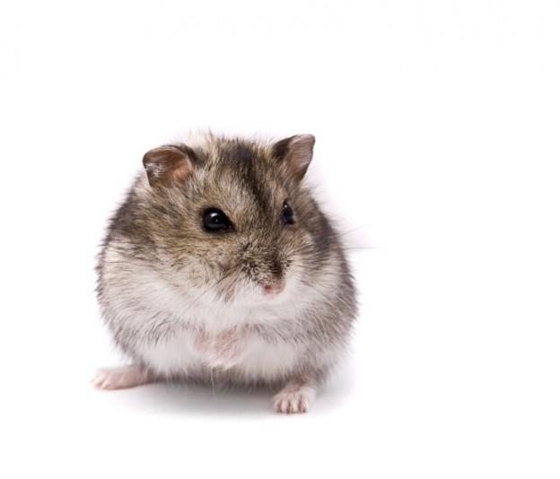 Suesser Hamster