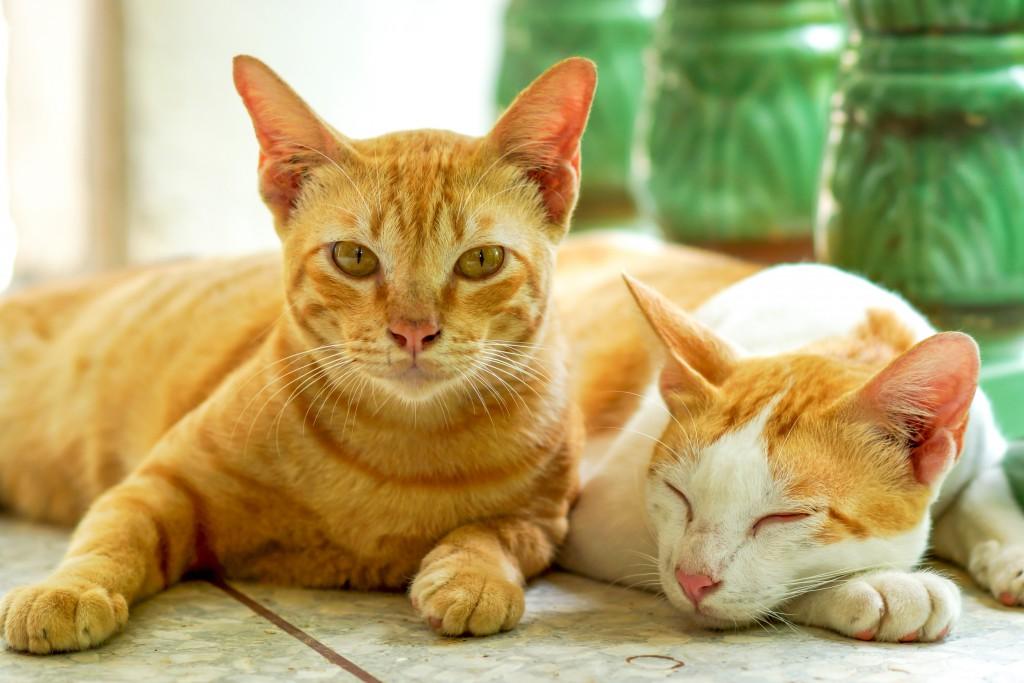 Katzen aneinander gewöhnen © [Noppharat4569] – Shutterstock.com