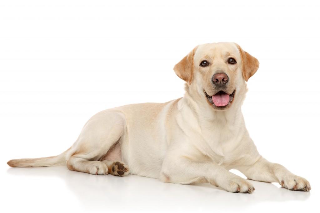 Süsser Labrador Hund © [Jagodka] – Shutterstock.com