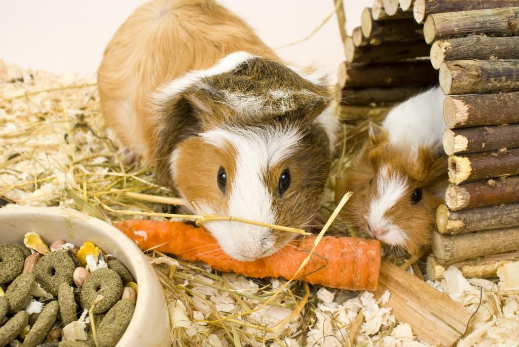 Süsses Meerschweinchen © [Kristo-Gothard Hunor] – Shutterstock.com