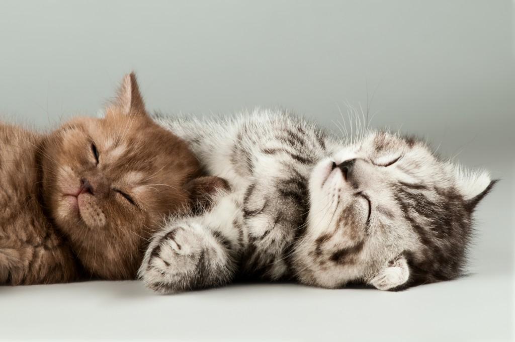 Katzen am Kuscheln © [tankist276] – Shutterstock.com