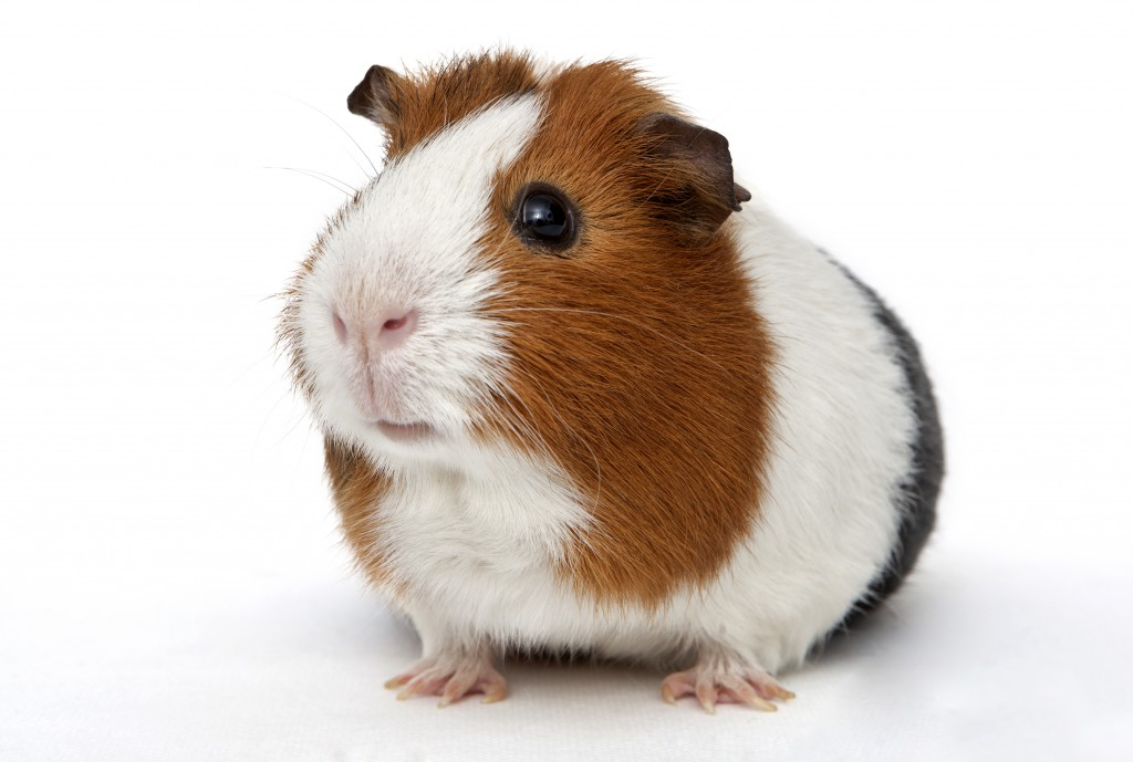 Meerschweinchen © [Photok.dk] – Shutterstock.com