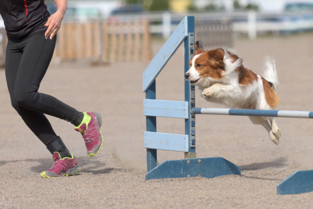 Hund springt über Hürde