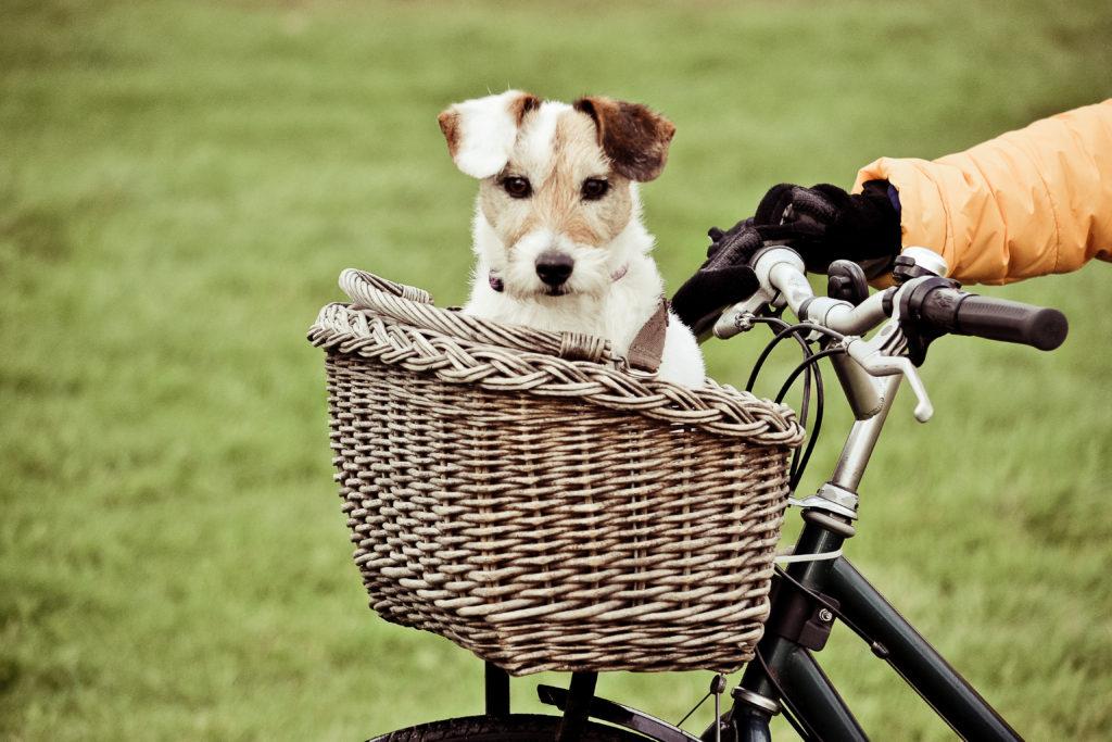 Hund im Fahrradkorb