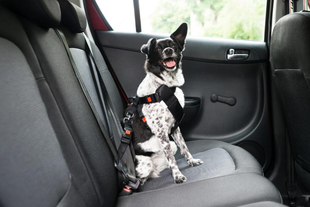 Hund im Auto mit Geschirr gesichert