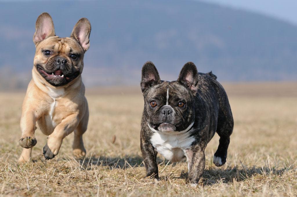 Zwei französische Bulldoggen